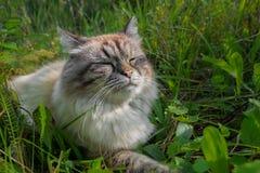 Gato do enxofre que toma sol alegremente no sol em uma grama verde Fotografia de Stock