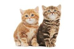 Gato do gatinho de dois Ingleses Shorthair isolado Fotografia de Stock Royalty Free