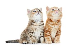 Gato do gatinho de Ingleses Shorthair isolado Imagens de Stock