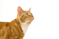 Gato do gengibre Fotos de Stock Royalty Free