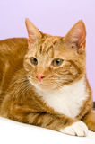 Gato do gengibre Imagem de Stock