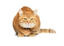 Gato do gengibre Imagem de Stock Royalty Free