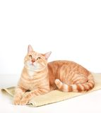 Gato do gengibre. Imagens de Stock