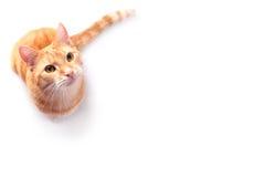 Gato do gengibre Foto de Stock Royalty Free
