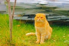 Gato do gengibre com os olhos vermelhos que sentam-se na grama na noite morna do verão Fotos de Stock Royalty Free