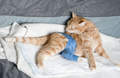 Gato do gengibre com pé quebrado Fotos de Stock