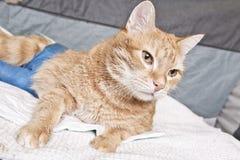 Gato do gengibre com pé quebrado Foto de Stock