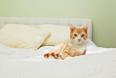Gato do gengibre na cama Foto de Stock Royalty Free