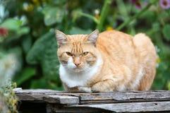 Gato do gengibre que encontra-se em um banco de madeira fotos de stock
