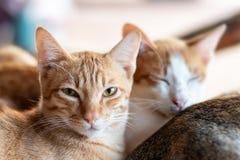 Gato do gengibre que olha a câmera Foto de Stock Royalty Free