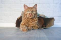 Gato do gengibre que senta-se em um saco de papel e que olha curioso à câmera foto de stock royalty free