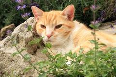 Gato do gengibre sob a influência do catnip Imagem de Stock Royalty Free