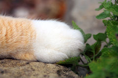 Gato do gengibre sob a influência do catnip Imagens de Stock