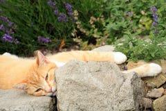 Gato do gengibre sob a influência do catnip Fotos de Stock