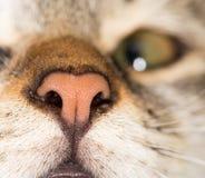 Gato do nariz Macro Fotografia de Stock Royalty Free
