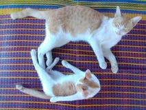 Gato do pai e o filho fotografia de stock royalty free