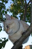 Gato do ponto do gato malhado fotografia de stock