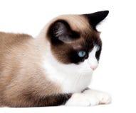 Gato do sapato de neve, uma raça nova que origina nos EUA, isolados no fundo branco Imagens de Stock Royalty Free