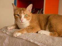 Gato do Sepia fotografia de stock
