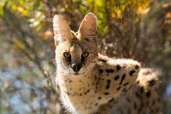 Gato do Serval na árvore foto de stock royalty free