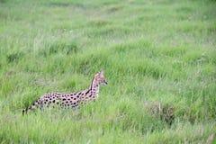 Gato do Serval na pastagem do savana em Kenya imagens de stock
