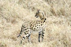 Gato do Serval no Masai Mara Reserve, Kenya imagens de stock