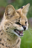 Gato do Serval que snarling Fotografia de Stock