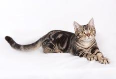 Gato do shorthair de América Imagens de Stock Royalty Free
