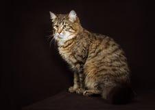 Gato do Siberian do puro-sangue Foto de Stock Royalty Free