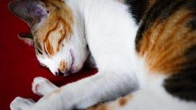 Gato do sono Fotos de Stock Royalty Free