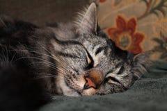 Gato do sono dos sonhos doces Imagens de Stock