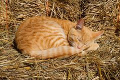 Gato do sono no monte de feno Fotografia de Stock