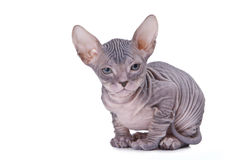 Gato do Sphinx Imagem de Stock