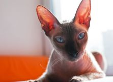 Gato do Sphinx Imagem de Stock Royalty Free