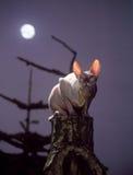 Gato do Sphinx foto de stock