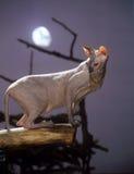 Gato do Sphinx com uma lua imagens de stock royalty free