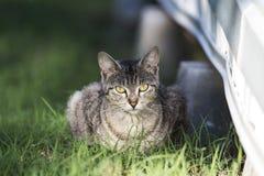 gato do terreno fotografia de stock