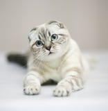 Gato. Doblez del escocés. imagen de archivo
