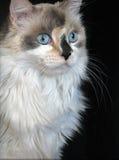 Gato doce Fotografia de Stock
