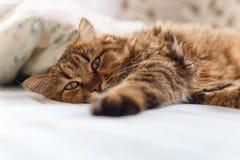 Gato doente que encontra-se com alta temperatura fotografia de stock