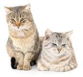 Gato dois Foto de Stock