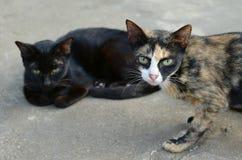 Gato dois Fotografia de Stock