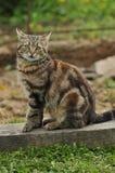 Gato doméstico Fotografia de Stock