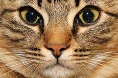 Gato doméstico Imagem de Stock Royalty Free