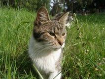Gato doméstico Imagens de Stock