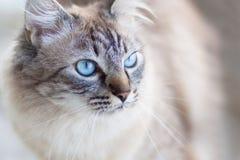 Gato doméstico. Foto de Stock Royalty Free