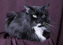 Gato doméstico bonito no fundo vermelho fotografia de stock