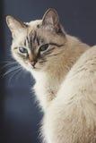 Gato doméstico bonito que olha afastado Fotos de Stock Royalty Free