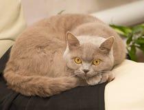Gato doméstico britânico imagem de stock