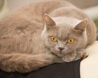 Gato doméstico britânico foto de stock